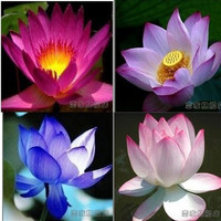 Free Shipping 100% Original 10PCS 9 kinds Lotus Flower Aquarium Plant Seeds Aquarium Seeds Lotus Plant  Lotus Seeds