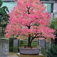 Bonsai Katsura, Many Colored Leaves, Smells Like Cotton Candy, 5 Seeds