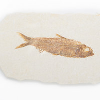 Fossil Fish - Knightia Species