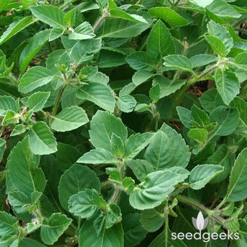 Holy Basil, Tulsi Herb Heirloom Seeds - Non-GMO, Open Pollinated, Untreated