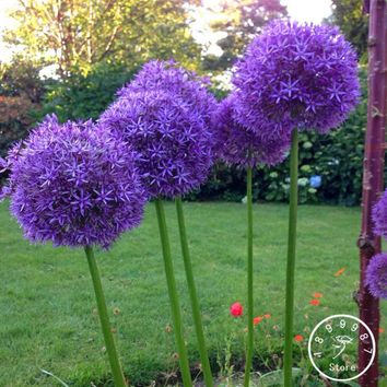 New Arrival!Exotic Onion Seeds Giant Allium Seeds Multicolor Potted Flowers (White Purple Green) 30 PCS / Pack,#NSW0H0