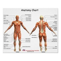 IFA Anatomy Chart Posters from Zazzle.com