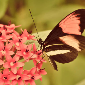 Beautiful Butterfly  8x10 photograph  fine by maybesparrowsplace