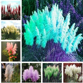 400 pcs beautiful purple flower seed Rare Pampas grass garden plant flower seeds flowers home and garden Free Shipping