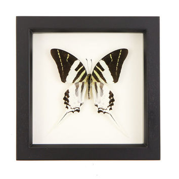 Framed Giant Swordtail Butterfly Wall Art Display Insect Taxidermy