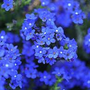 Old Fashioned Forget Me Not Bluebird, Perennial Flower Seeds, Attracts Butterflies