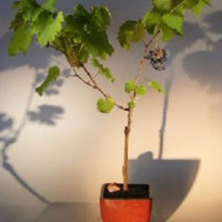 Seedless Grape Bonsai TreeVitis labrusca 'Reliance'