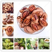 2018 New ! 1 Pc Pecan Seeds Carya Illinoinensis Nut Seeds Rare Outdoor Fruit Tree Seeds Subtropical Plant Seeds For Home Garden