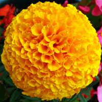Marigold tall double mixed flower plant seeds heirloom non gmo gardening