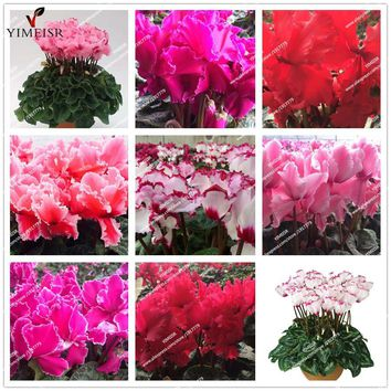 True Cyclamen Seeds 7color selection Rare indoor bonsai flower seeds Potted Balcony Plant seeds for home garden 10pcs/bag