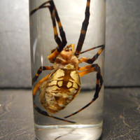 OOPs Arachnophobia Huge Yellow Garden Spider in a Jar Wet Specimen Taxidermy