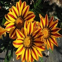 Gazania Kiss Golden Flame Flower Seeds (Gazania Rigens) 10+Seeds