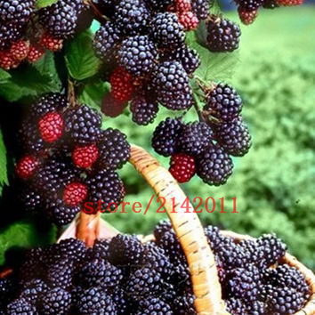 100pcs bag black mulberry seeds mulberry tree seeds Organic Heirloom vegetable fruit seeds sweet and heathy for home garden