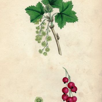 "Sowery Fruit Print - 1877 - ""RED CURRANT"" - Hand-Colored Botanical Lithograph"
