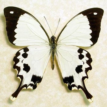 Real Madagascar Swallowtail Framed Butterfly Display 130