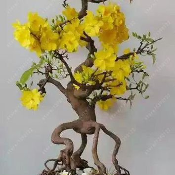 10 pcs/bag Jasmine seeds, rare yellow flower seeds,potted bonsai garden flowers seeds indoor or outdoor plant easy to grow