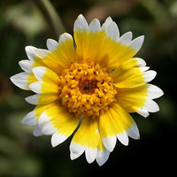 Tidy Tips Seeds, An Unusual Yellow Flower, Attracts Ladybugs, 25 Seeds