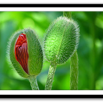 Poppy Buds Photograph - Nature Photography File Download