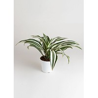 "LIVE 4"" Dracaena Indoor House Plant - Ships Alone"