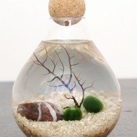 Moss + Twig Marimo Moss Ball Aquarium