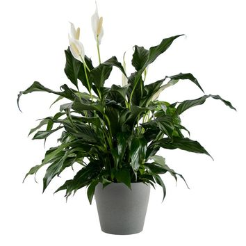 LIVE Peace Lily in Dark Gray Stone Container - Ships Alone
