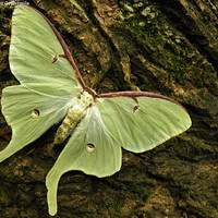 Real Luna Moth Photography Print