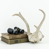 White Partial Deer Skull with Antlers