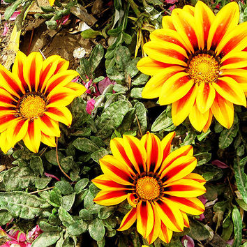 50 Gazania Rigens Sunflowers Flower Seeds | Potted Heirloom Penerial Africa Flowers Home Garden Decor