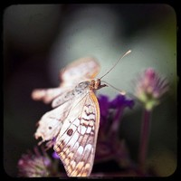 Butterfly photo, purple flower macro, white heart bokeh, 8x8 fine art print