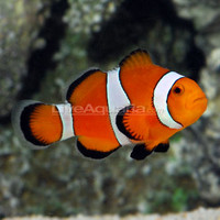 Saltwater Aquarium Fish for Marine Aquariums: Ocellaris Clownfish, Tank Bred