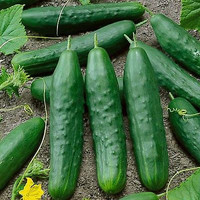 Cucumber Straight Eight Vegetable Seeds (Cucumis sativus) 50+Seeds