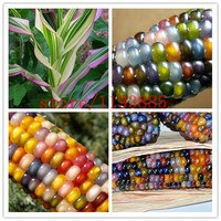 20pcs/bag corn seeds Authentic Glass Gem Indian Corn Seeds! Heirloom, Rainbow, Non-GMO vegetable seeds for home garden planting