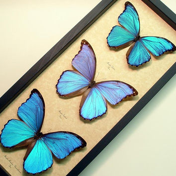 Giant Blue Morpho Collection 3 Real  Framed Butterflies 8111