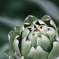 Artichoke - plant photograph - kitchen decor - green vegetable - 4x6 wall art