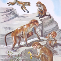 Vintage Teaching Pictures Monkey Picture Vintage Zoo Picture Vintage Classroom Picture Nursery Zoo Art