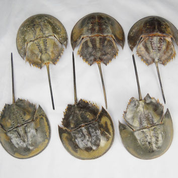 "10""-13"" Creepy Horseshoe Crab Real Taxidermy Preserved Dried Animal Specimen Decoration"