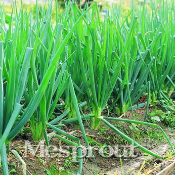 Alone Root Vegetable Nutrition Small Shallot Seeds 200pcs Four Seasons Onion Seeds Scallion Shallot Seed Chives Mini Plant
