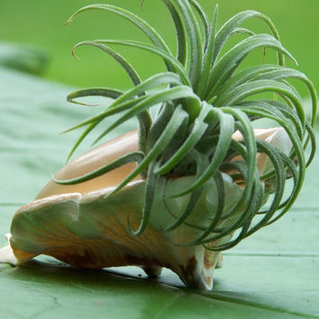 Bushy Air Plant And Sea Shell