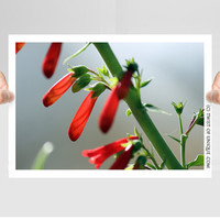 Red Flower Photography/ OPEN EDITION prints / Red flower and Sonoran Desert Plant Photography / Red, Green, flowers, unopened flower