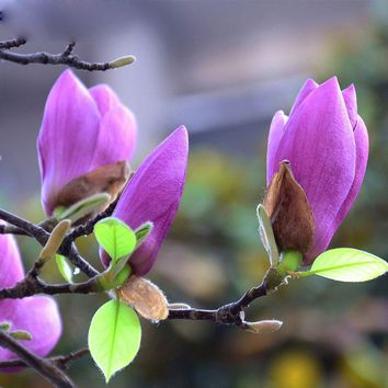 Hot Sale Rare Magnolia Flower Seeds home Garden Plants Perennial Flowers for pot Bonsai Trees Purple Magnolia Seeds 120PCS