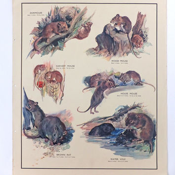Vintage British School Poster, Gnawing Animals,  Mouse, Mice, Rat, Vole, Home Decor, Housewares, Wall Hanging, Macmillans School Chart