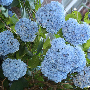 Nikko Blue Hydrangea Live Plants Nice Starter Plants Beautiful Blue Flowers all Summer
