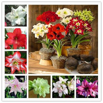2 Bulbs Amaryllis Bulbs True Hippeastrum Bulbs Flowers,Barbados Lily Potted Home Garden Balcony Plant Bulbous (Not Seeds)