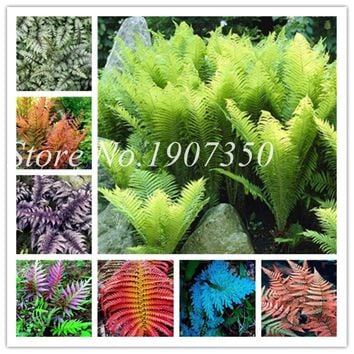 Bonsai 100 Pcs/Bag Rare Bonsai Fern Perennial Herb Plants Bonsai Pot Flower Indoor Plant For Home Garden Very Easy To Grow