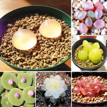 100pcs Real rare succulent seeds,  Pseudotruncatella Living Stone lithops seeds indoor plant  perennial angiosperm plants flower