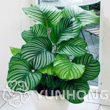 100 PCS Rare Calathea Seeds Air Freshening plants High Humidity, Easy to Grow,  Office Desk Bonsai for Flower Pot Planters