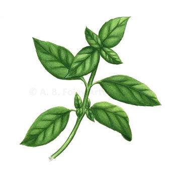 "Basil Art Print - Fine Art Reproduction of Original Basil Plant Botanical Illustration, Green Kitchen Decor Herb Art Giclee Print 11"" X 8.5"""