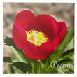 Red Peony Floral Photo Tile