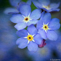 Nature Photography, Blue Forget-Me-Not, Spring Flower, Fine Art Print and Photo Card, Pastel Colors, Soft Blue, Wall Decor