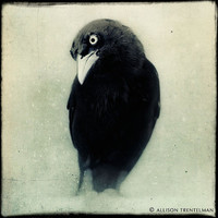 Raven Crow Black and White Photo Halloween by NatureMandalas